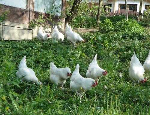 Suppenhühner auf Vorbestellung!