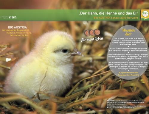 Der Hahn, die Henne und das Ei