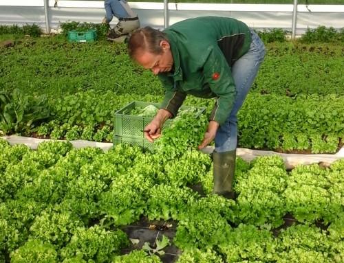 Es gibt wieder frische Kopfsalate aus eigenem Anbau!