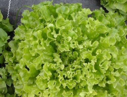 Die Salat Saison ist eröffnet!