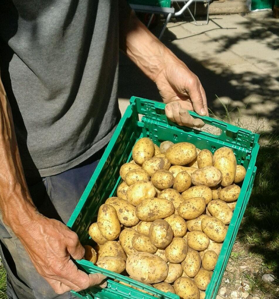 Frühkartoffeln 2019